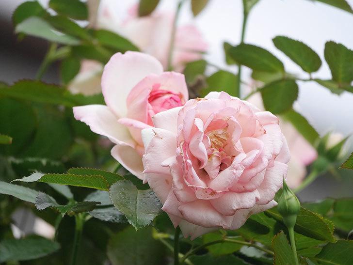 ピエール・ドゥ・ロンサール(Pierre de Ronsard)の2番花が咲いた。ツルバラ。2021年-020.jpg