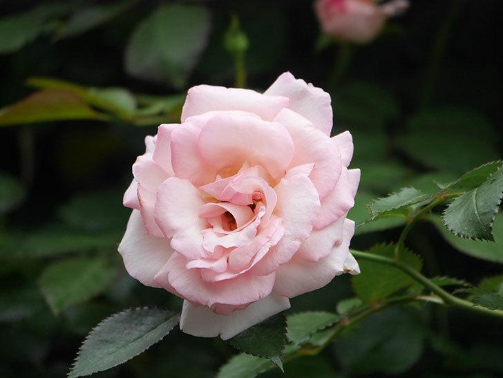 ピエール・ドゥ・ロンサール(Pierre de Ronsard)の2番花が咲いた。ツルバラ。2021年-021.jpg