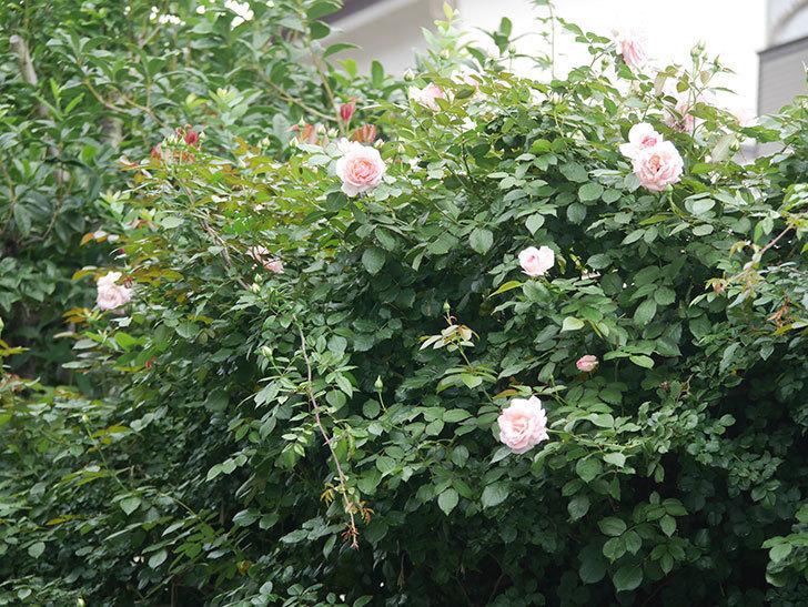 ピエール・ドゥ・ロンサール(Pierre de Ronsard)の2番花が咲いた。ツルバラ。2021年-022.jpg