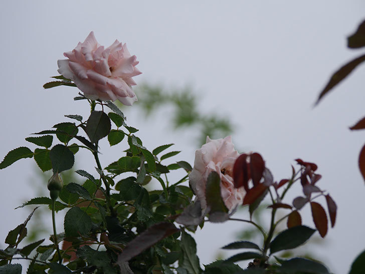 ピエール・ドゥ・ロンサール(Pierre de Ronsard)の2番花が増えてきた。ツルバラ。2020年-001.jpg