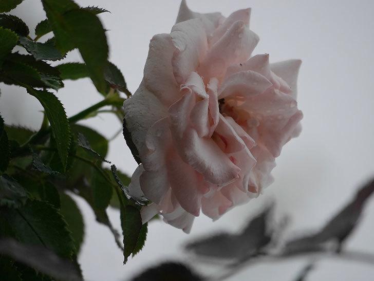ピエール・ドゥ・ロンサール(Pierre de Ronsard)の2番花が増えてきた。ツルバラ。2020年-003.jpg