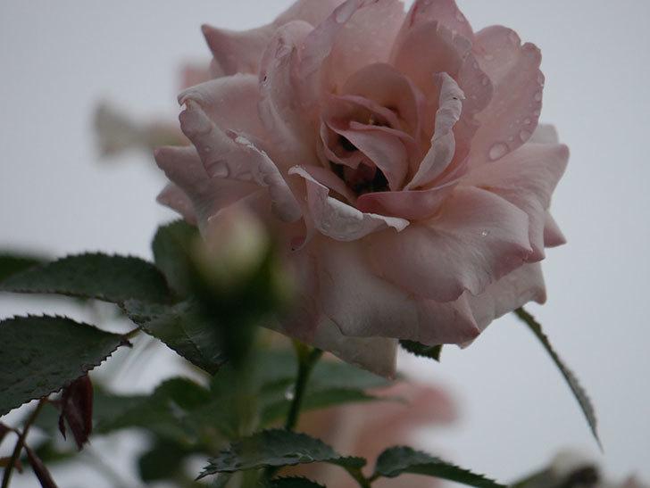 ピエール・ドゥ・ロンサール(Pierre de Ronsard)の2番花が増えてきた。ツルバラ。2020年-005.jpg
