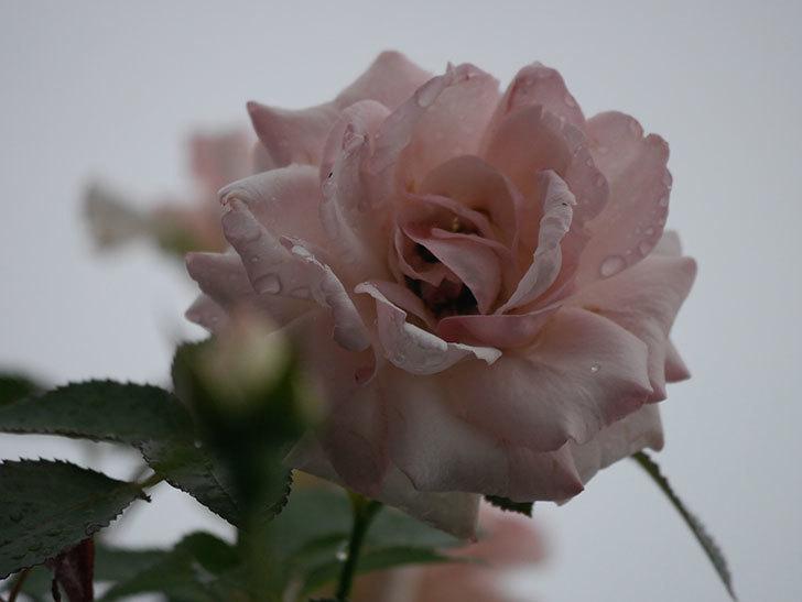 ピエール・ドゥ・ロンサール(Pierre de Ronsard)の2番花が増えてきた。ツルバラ。2020年-006.jpg