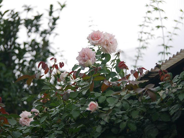 ピエール・ドゥ・ロンサール(Pierre de Ronsard)の2番花が増えてきた。ツルバラ。2020年-007.jpg