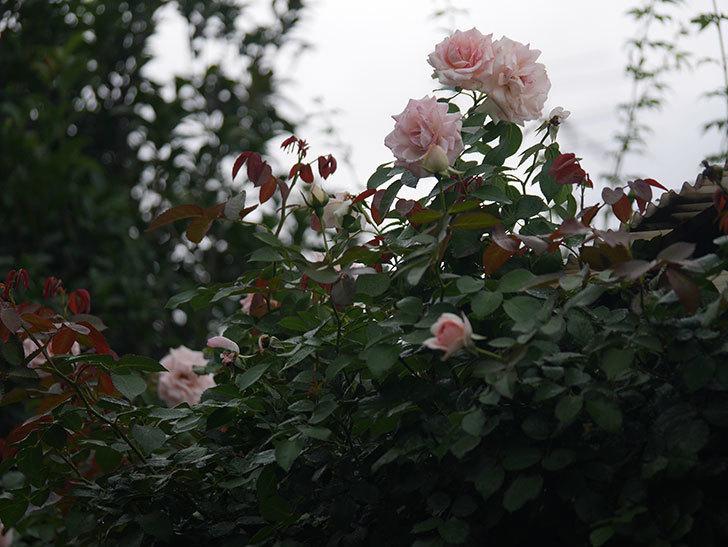 ピエール・ドゥ・ロンサール(Pierre de Ronsard)の2番花が増えてきた。ツルバラ。2020年-008.jpg