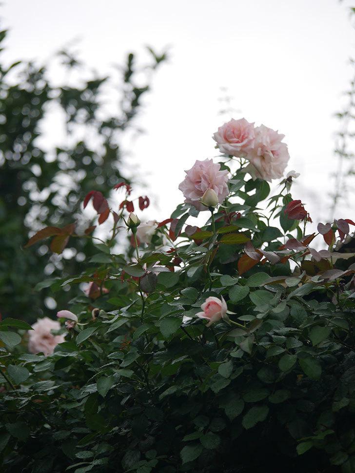 ピエール・ドゥ・ロンサール(Pierre de Ronsard)の2番花が増えてきた。ツルバラ。2020年-009.jpg