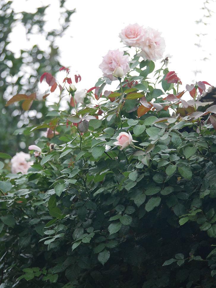 ピエール・ドゥ・ロンサール(Pierre de Ronsard)の2番花が増えてきた。ツルバラ。2020年-010.jpg