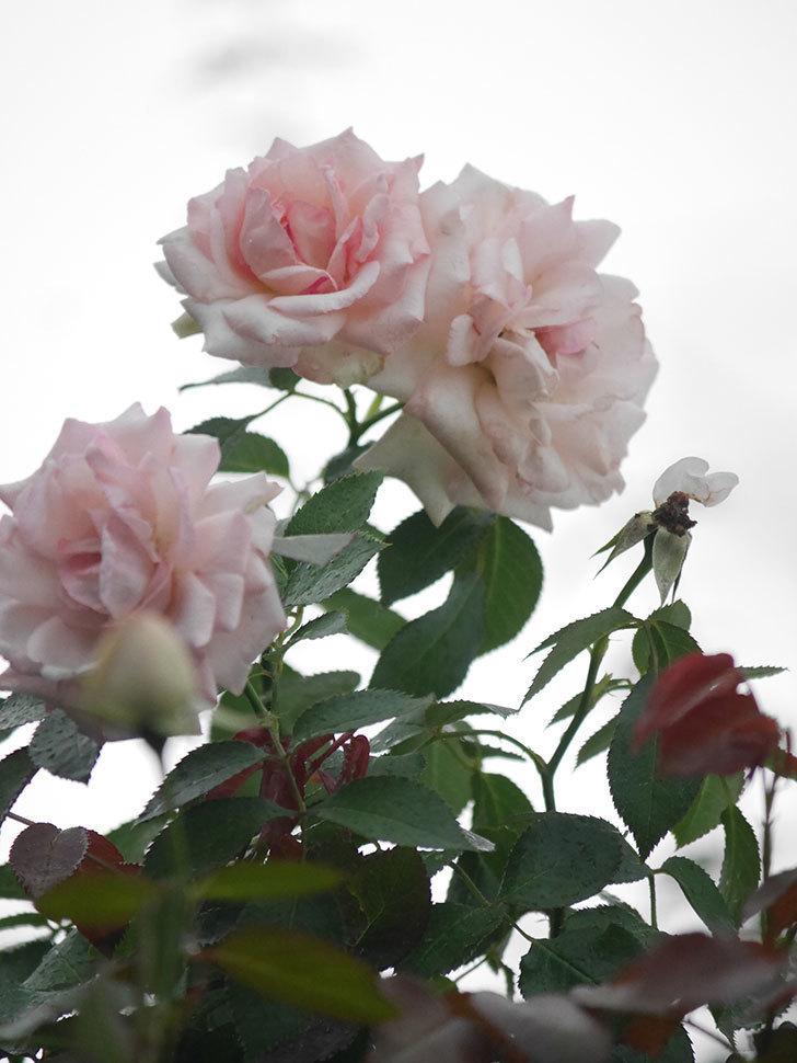 ピエール・ドゥ・ロンサール(Pierre de Ronsard)の2番花が増えてきた。ツルバラ。2020年-013.jpg