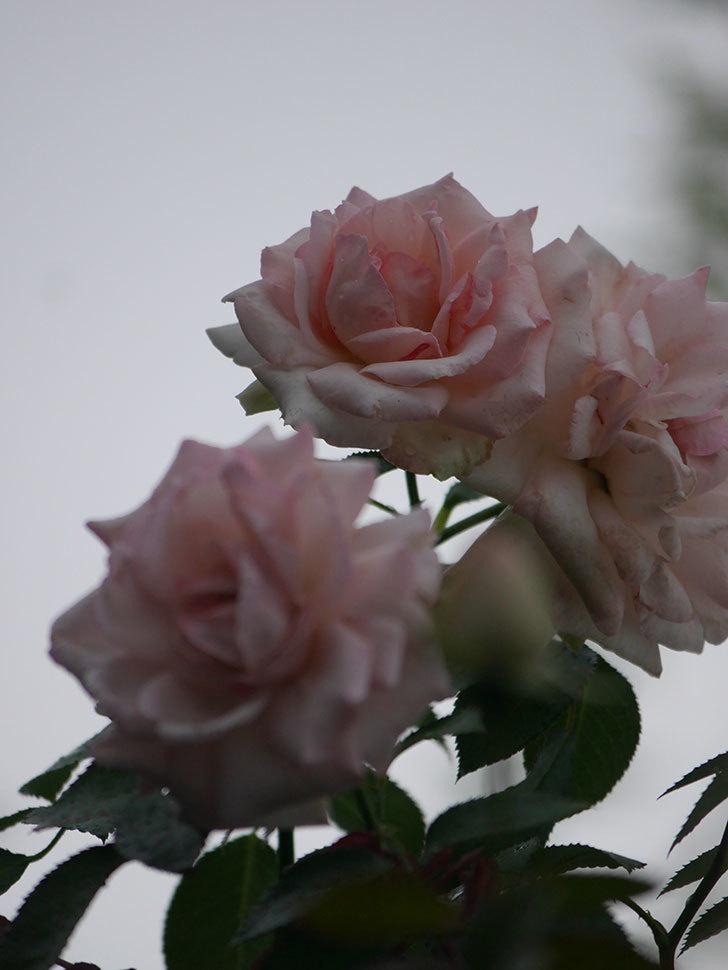 ピエール・ドゥ・ロンサール(Pierre de Ronsard)の2番花が増えてきた。ツルバラ。2020年-014.jpg