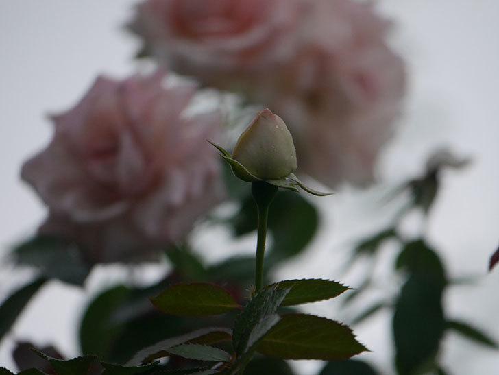 ピエール・ドゥ・ロンサール(Pierre de Ronsard)の2番花が増えてきた。ツルバラ。2020年-015.jpg
