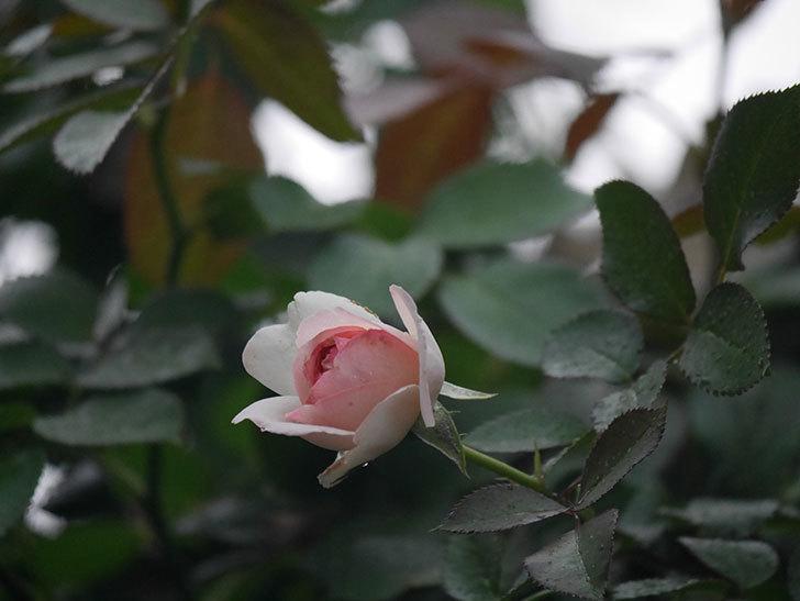 ピエール・ドゥ・ロンサール(Pierre de Ronsard)の2番花が増えてきた。ツルバラ。2020年-016.jpg