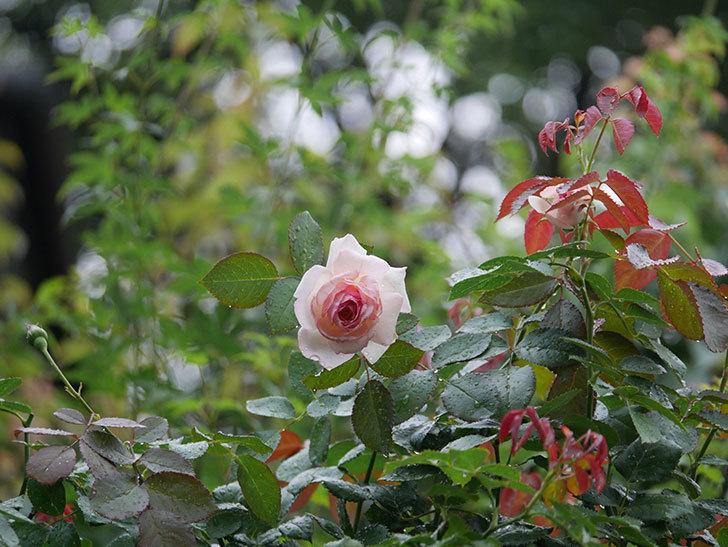 ピエール・ドゥ・ロンサール(Pierre de Ronsard)の2番花が綺麗に咲いた。ツルバラ。2020年-001.jpg
