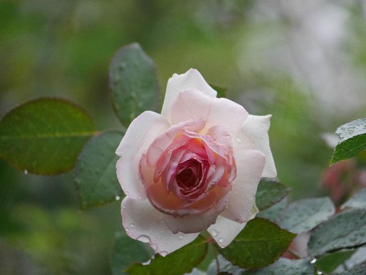 ピエール・ドゥ・ロンサール(Pierre de Ronsard)の2番花が綺麗に咲いた。ツルバラ。2020年-002.jpg