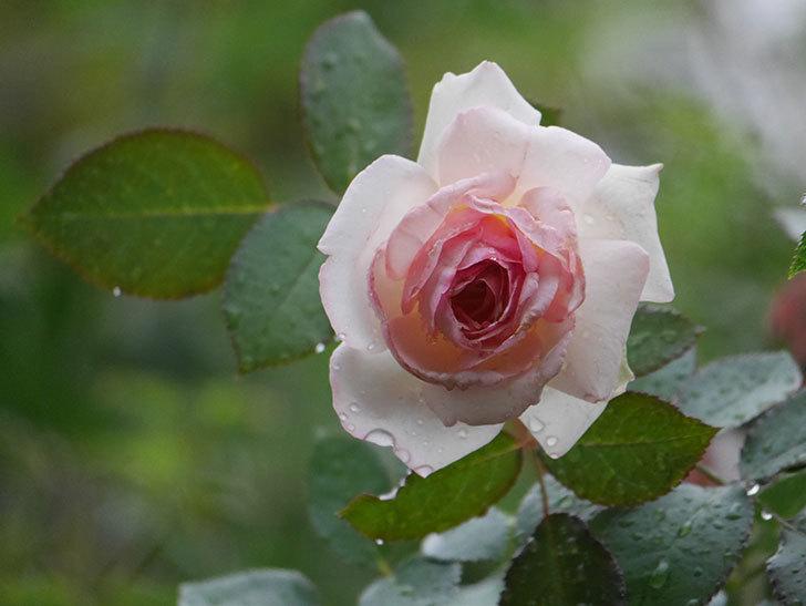 ピエール・ドゥ・ロンサール(Pierre de Ronsard)の2番花が綺麗に咲いた。ツルバラ。2020年-003.jpg