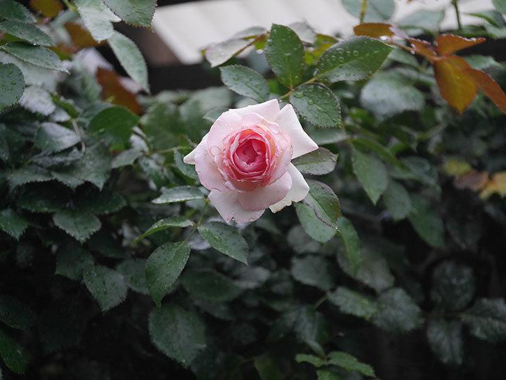 ピエール・ドゥ・ロンサール(Pierre de Ronsard)の2番花が綺麗に咲いた。ツルバラ。2020年-004.jpg