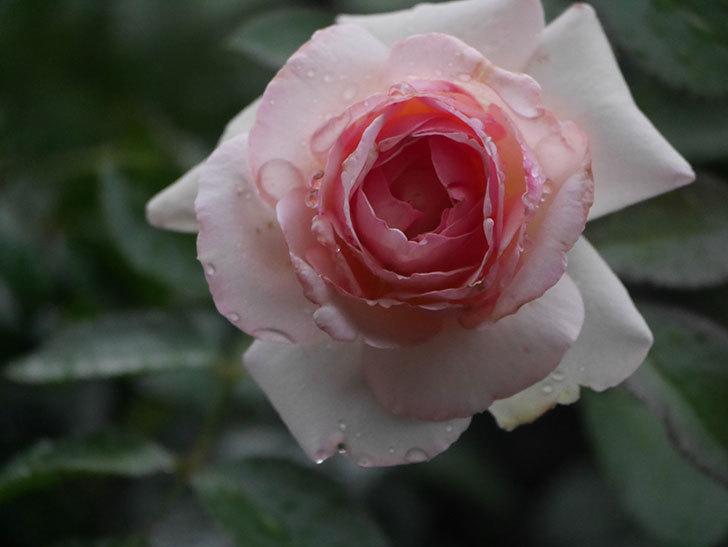 ピエール・ドゥ・ロンサール(Pierre de Ronsard)の2番花が綺麗に咲いた。ツルバラ。2020年-005.jpg