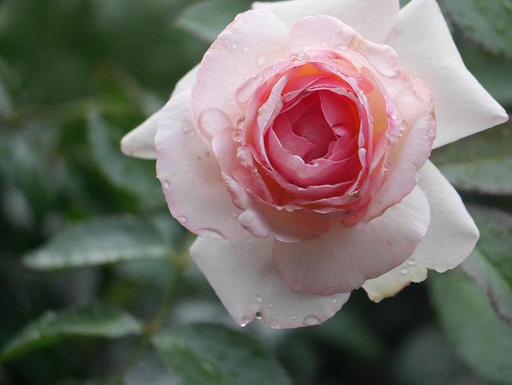 ピエール・ドゥ・ロンサール(Pierre de Ronsard)の2番花が綺麗に咲いた。ツルバラ。2020年-006.jpg