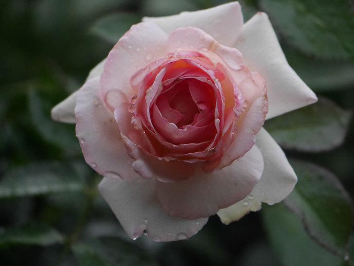 ピエール・ドゥ・ロンサール(Pierre de Ronsard)の2番花が綺麗に咲いた。ツルバラ。2020年-007.jpg