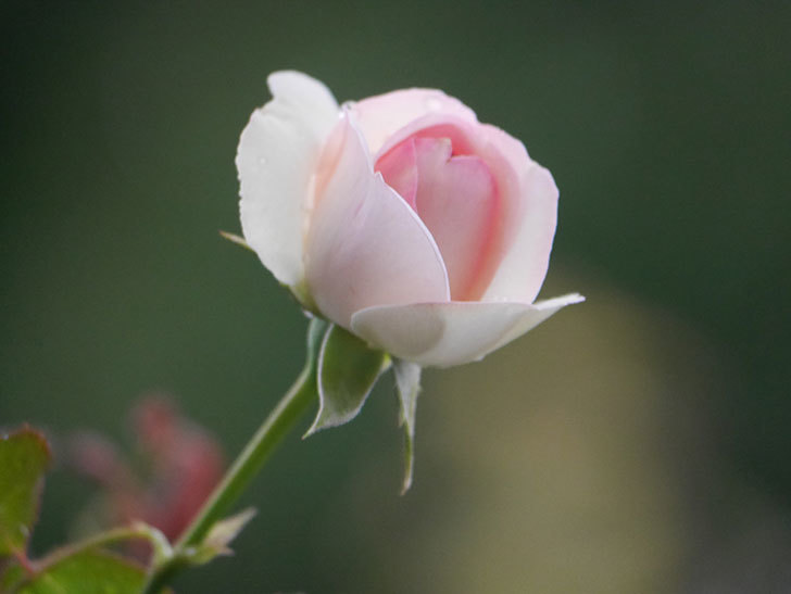 ピエール・ドゥ・ロンサール(Pierre de Ronsard)の2番花が綺麗に咲いた。ツルバラ。2020年-008.jpg