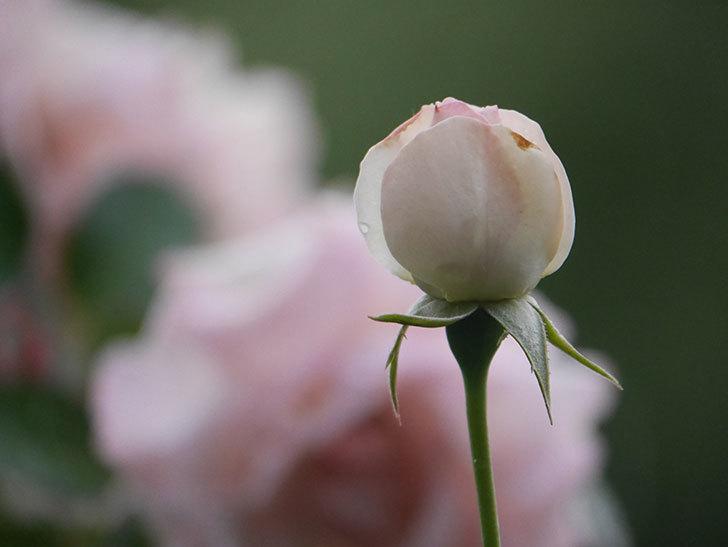 ピエール・ドゥ・ロンサール(Pierre de Ronsard)の2番花が綺麗に咲いた。ツルバラ。2020年-009.jpg