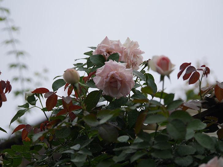 ピエール・ドゥ・ロンサール(Pierre de Ronsard)の2番花が綺麗に咲いた。ツルバラ。2020年-010.jpg