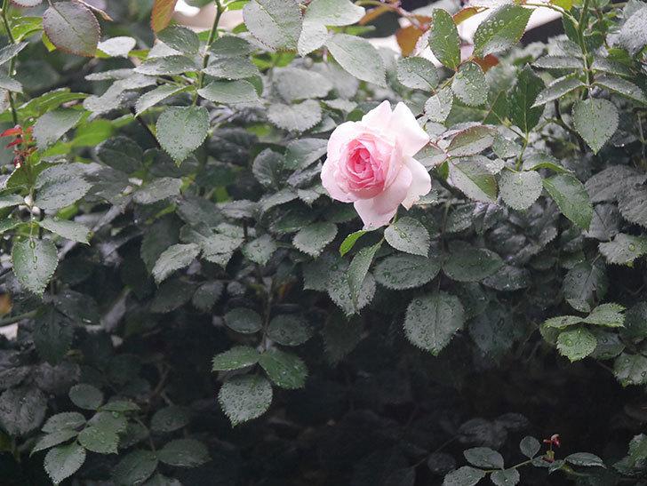 ピエール・ドゥ・ロンサール(Pierre de Ronsard)の2番花が綺麗に咲いた。ツルバラ。2020年-011.jpg