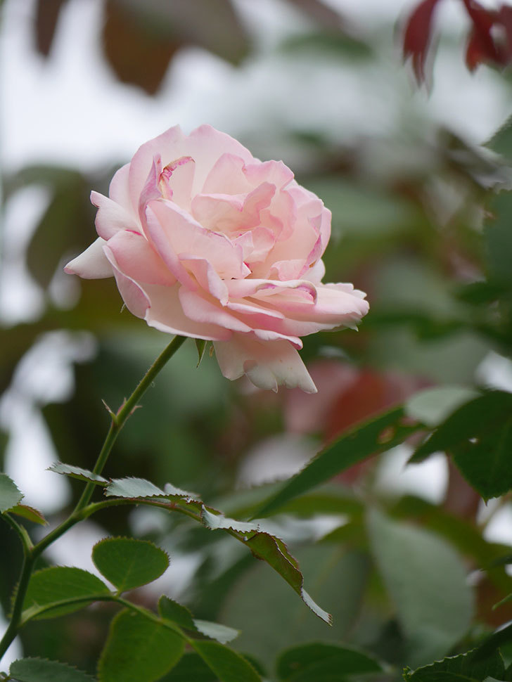 ピエール・ドゥ・ロンサール(Pierre de Ronsard)の秋花が咲いた。ツルバラ。2021年-009.jpg