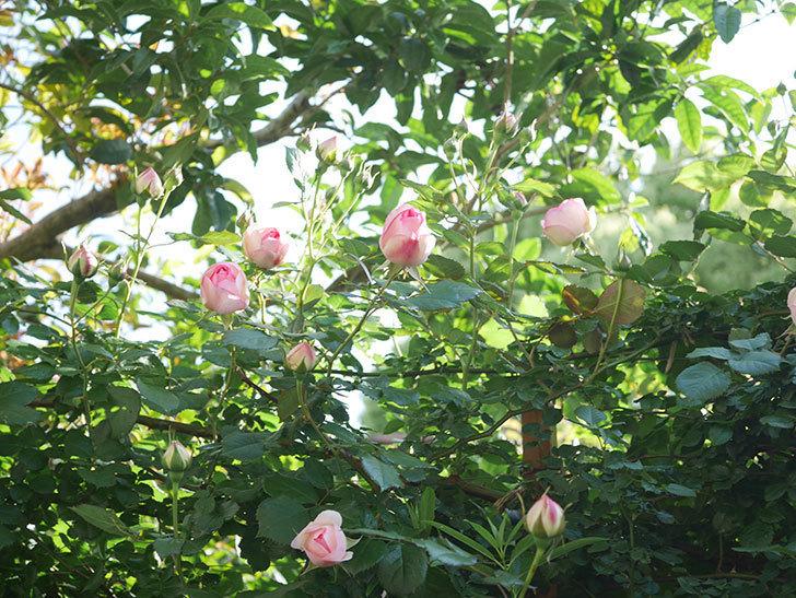 ピエール・ドゥ・ロンサール(Pierre de Ronsard)の花がたくさん咲いた。ツルバラ。2021年-001.jpg