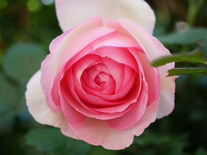 ピエール・ドゥ・ロンサール(Pierre de Ronsard)の花がたくさん咲いた。ツルバラ。2021年-004.jpg