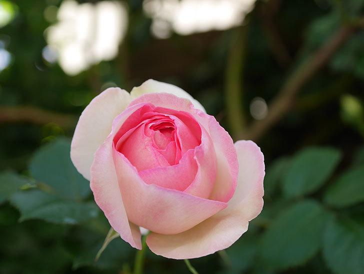 ピエール・ドゥ・ロンサール(Pierre de Ronsard)の花がたくさん咲いた。ツルバラ。2021年-005.jpg