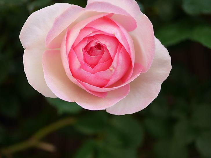 ピエール・ドゥ・ロンサール(Pierre de Ronsard)の花がたくさん咲いた。ツルバラ。2021年-006.jpg