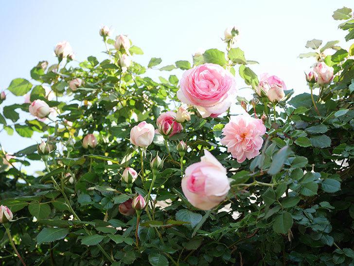 ピエール・ドゥ・ロンサール(Pierre de Ronsard)の花がたくさん咲いた。ツルバラ。2021年-007.jpg