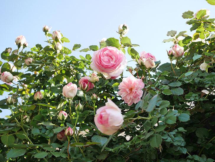 ピエール・ドゥ・ロンサール(Pierre de Ronsard)の花がたくさん咲いた。ツルバラ。2021年-008.jpg