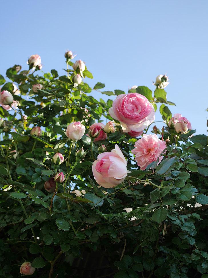 ピエール・ドゥ・ロンサール(Pierre de Ronsard)の花がたくさん咲いた。ツルバラ。2021年-009.jpg
