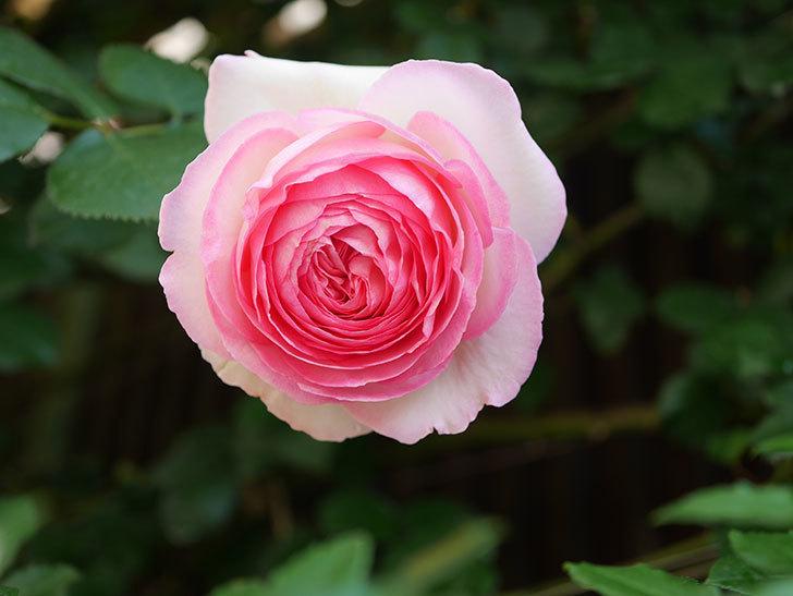 ピエール・ドゥ・ロンサール(Pierre de Ronsard)の花がたくさん咲いた。ツルバラ。2021年-010.jpg