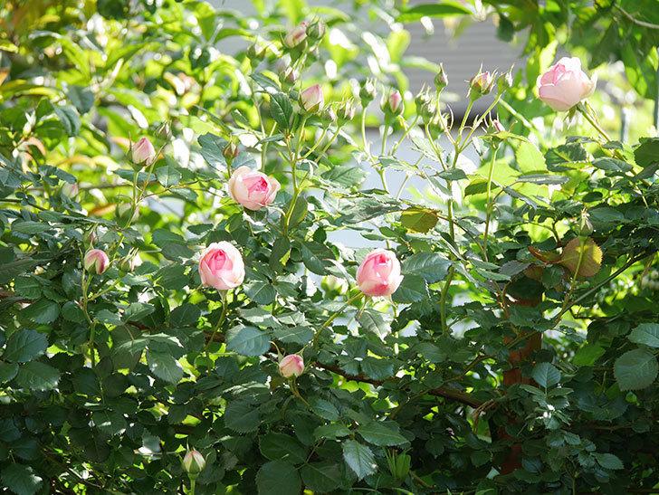 ピエール・ドゥ・ロンサール(Pierre de Ronsard)の花がたくさん咲いた。ツルバラ。2021年-011.jpg