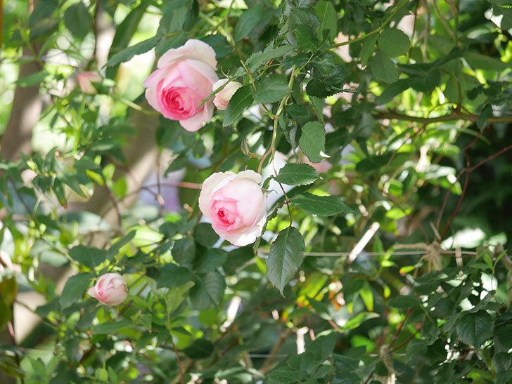 ピエール・ドゥ・ロンサール(Pierre de Ronsard)の花がたくさん咲いた。ツルバラ。2021年-012.jpg