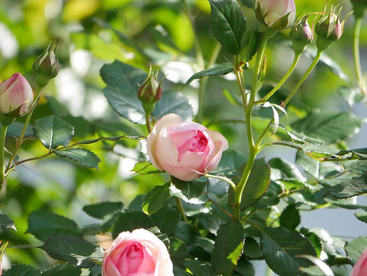 ピエール・ドゥ・ロンサール(Pierre de Ronsard)の花がたくさん咲いた。ツルバラ。2021年-013.jpg