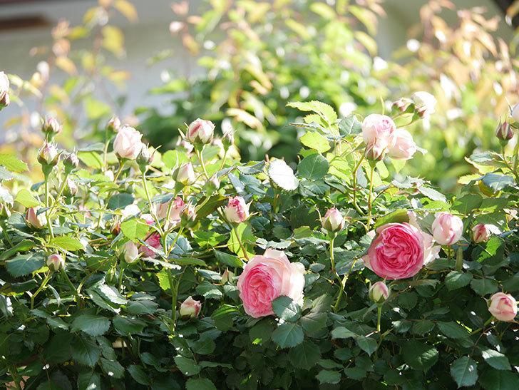 ピエール・ドゥ・ロンサール(Pierre de Ronsard)の花がたくさん咲いた。ツルバラ。2021年-014.jpg