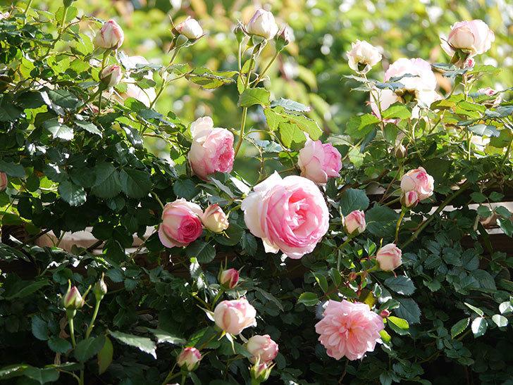 ピエール・ドゥ・ロンサール(Pierre de Ronsard)の花がたくさん咲いた。ツルバラ。2021年-015.jpg