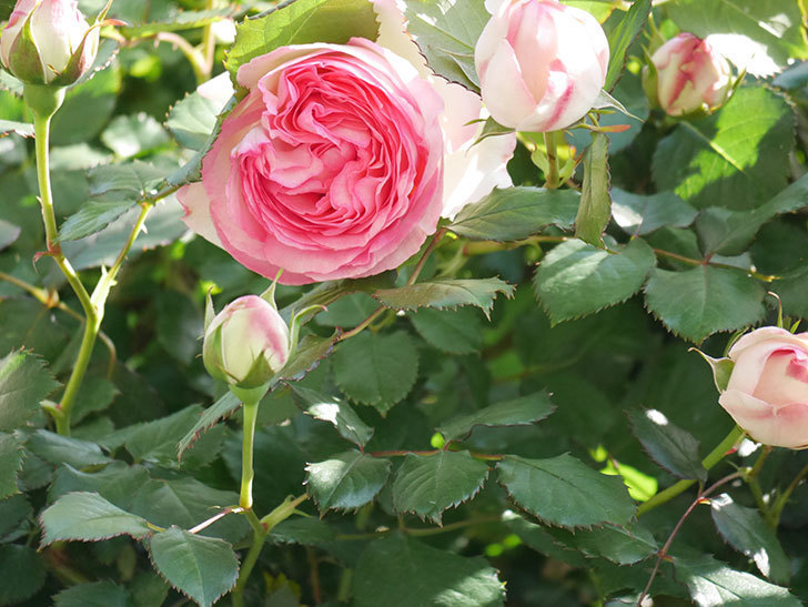 ピエール・ドゥ・ロンサール(Pierre de Ronsard)の花がたくさん咲いた。ツルバラ。2021年-016.jpg