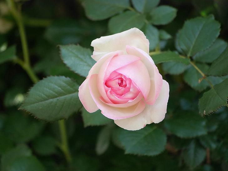 ピエール・ドゥ・ロンサール(Pierre de Ronsard)の花がたくさん咲いた。ツルバラ。2021年-017.jpg