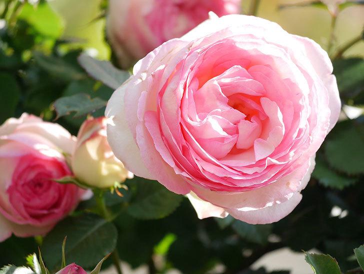 ピエール・ドゥ・ロンサール(Pierre de Ronsard)の花がたくさん咲いた。ツルバラ。2021年-018.jpg