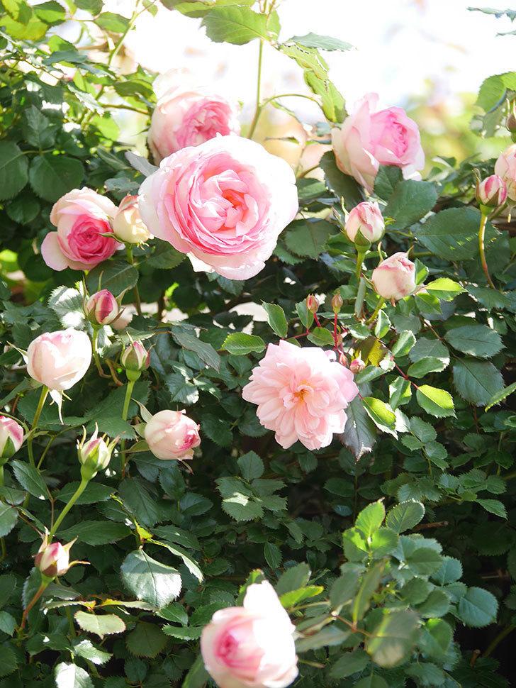 ピエール・ドゥ・ロンサール(Pierre de Ronsard)の花がたくさん咲いた。ツルバラ。2021年-019.jpg