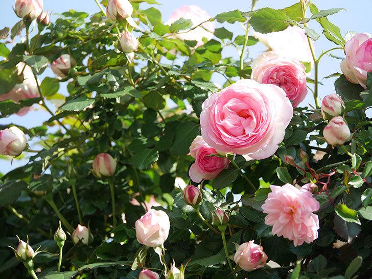 ピエール・ドゥ・ロンサール(Pierre de Ronsard)の花がたくさん咲いた。ツルバラ。2021年-020.jpg