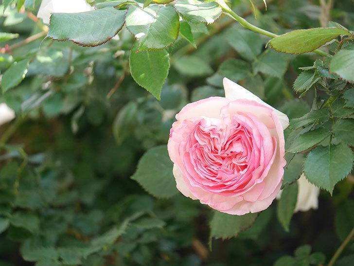ピエール・ドゥ・ロンサール(Pierre de Ronsard)の花がたくさん咲いた。ツルバラ。2021年-021.jpg