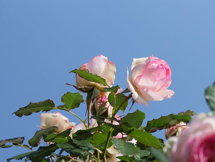 ピエール・ドゥ・ロンサール(Pierre de Ronsard)の花がたくさん咲いた。ツルバラ。2021年-022.jpg
