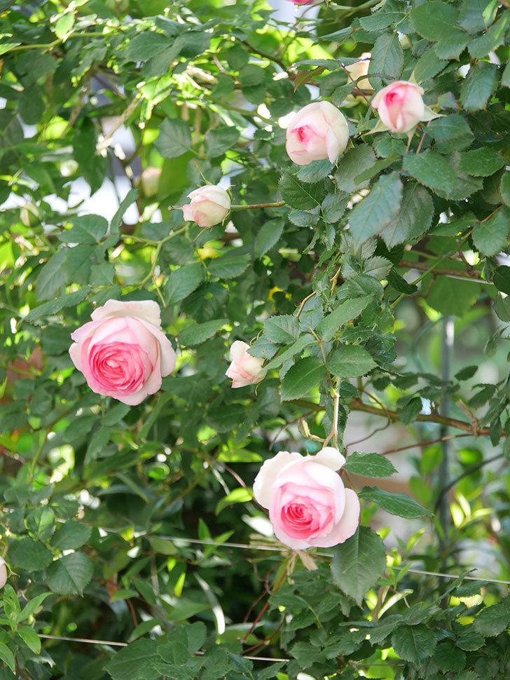 ピエール・ドゥ・ロンサール(Pierre de Ronsard)の花がたくさん咲いた。ツルバラ。2021年-023.jpg