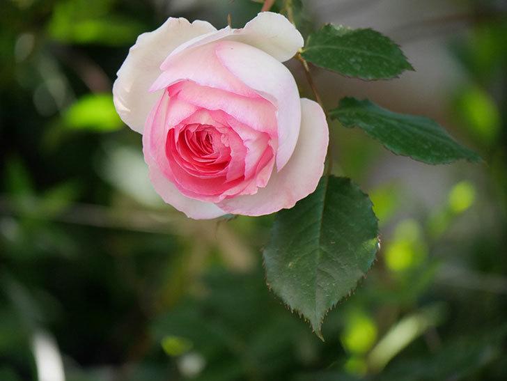ピエール・ドゥ・ロンサール(Pierre de Ronsard)の花がたくさん咲いた。ツルバラ。2021年-024.jpg