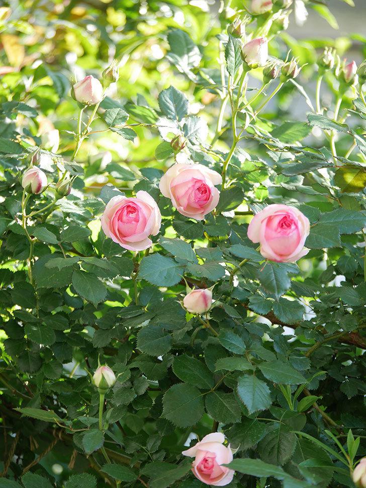 ピエール・ドゥ・ロンサール(Pierre de Ronsard)の花がたくさん咲いた。ツルバラ。2021年-025.jpg